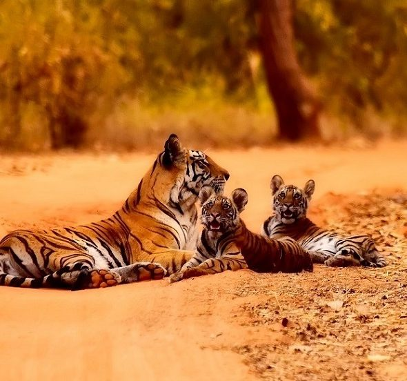 Tiger Spotting in India- Best Places to spot the elusive cat